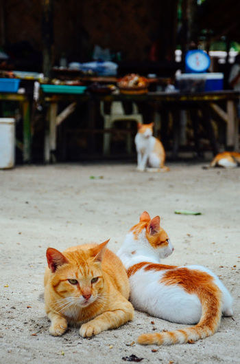 Chilling Animal Themes Brotherhood Brothers Cat Cats Chill Mode Cute Domestic Animals Domestic Cat Feline Ginger Ginger Cat Kitten Lazy Day Lazy Sunday Local Stalls Mammal Outdoors Pets Portrait Relax Seaside Togetherness Wondering