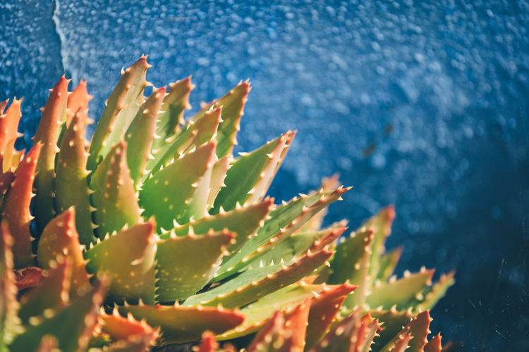Close-Up Of Succulent Plant Against Wall