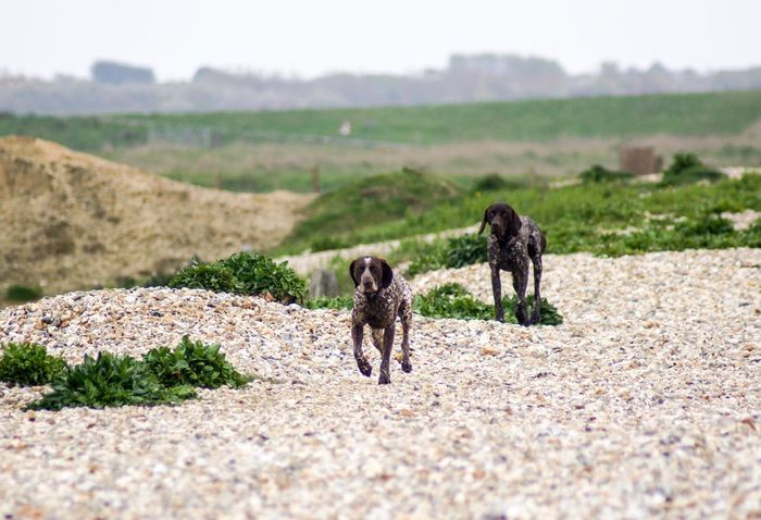 Two Pointer dogs running across a pebble beach. Selective Focus Speed Nature_collection Popular Photos EyeEm Best Shots Front View Green Color Outdoors Pebble Beach Motion Capture Motion Running Pointer Dog Two Animals Mammal Animal Animal Themes Land Nature Day Vertebrate Domestic Animals Domestic Pets Dog Canine No People Landscape Field Plant