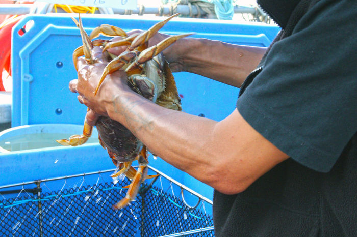 Fresh crab for sale at Steveston Docks , 15 dollars per crab. Seafood Crab fresh Live Crab Food Steveston dock