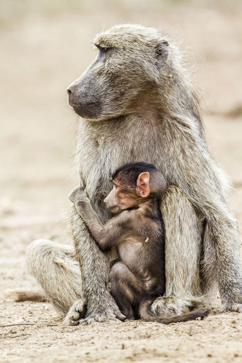Baboon and infant sitting outdoors