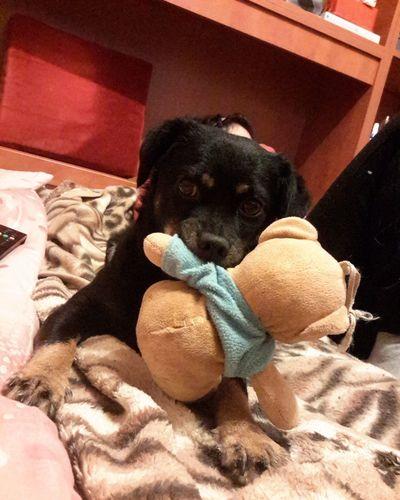 Pets Dog Animal Themes Teddy Bear 🐻 Pets Corner Iloveanimalforever Mylittledog Roxane Ilovemydog ❤️😍