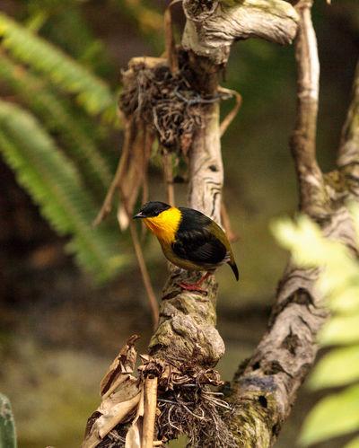 Golden collared manakin known as Manacus vitellinus in a tree Avian Bird Feather  Garden Golden Collared Manakin Manacus Vitellinus Manakin Nature Tree Wildbird Wildlife Wing Yellow Bird