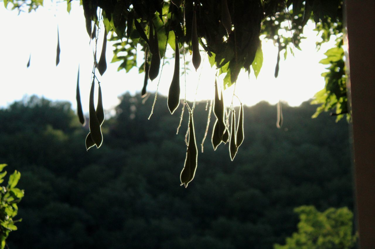 LOW ANGLE VIEW OF PLANTS HANGING ON TREE