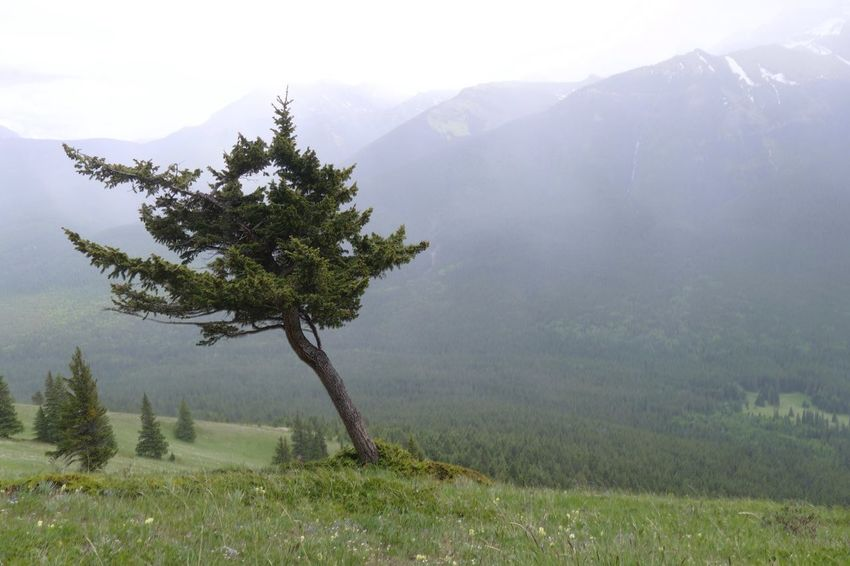 Natasha's tree. Gnarled Gnarled Tree Windswept Windswept Tree Tree Mountain Mist Tranquil Scene Tranquility Solitude No People Landscape Mountain Valley Green Natural Growth Nature Beauty In Nature Growth Breathing Space