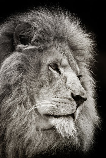 Lion . Animal Animal Body Part Animal Hair Animal Head  Animal Themes Animals In Captivity Animals In The Wild Beautful Nature Carnivore King Of The Jungle Lion Lion King  Looking Looking Away Male Mammal Nature One Animal Safari Animals Side View Wildlife Wildlife & Nature Wildlife Photography Zoo The Portraitist - 2016 EyeEm Awards