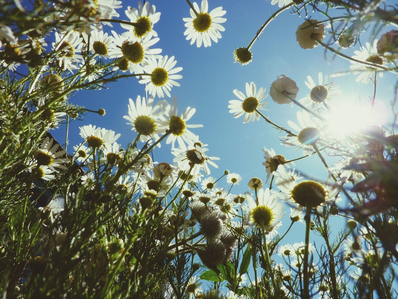 Low Angle View Of Daisy Flowers Blooming In Field Against Sky
