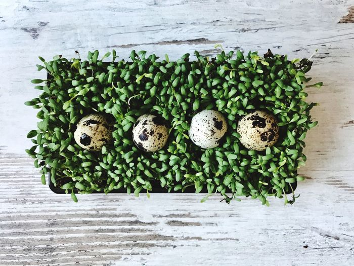 Directly above shot of quail eggs on plant
