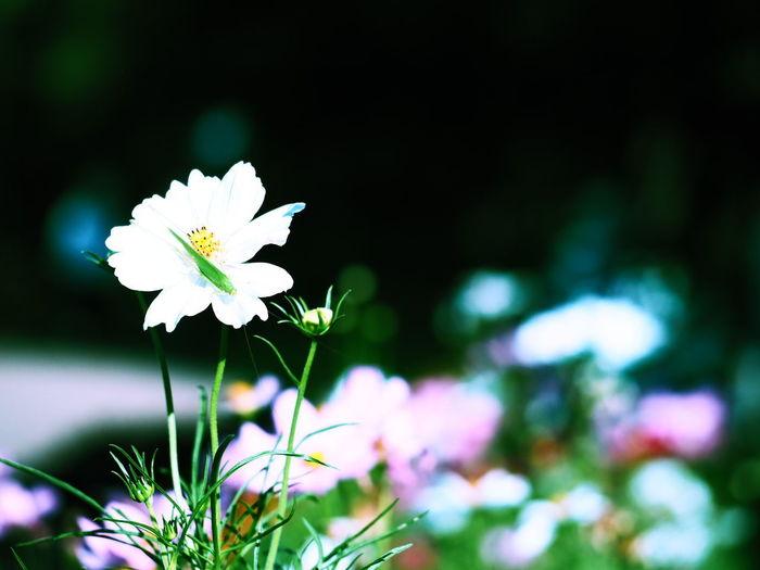カメラ コスモス Flower カメラ女子 写真好きな人と繋がりたい 秋桜 長居植物園 カメラ修業中 カメラ初心者 マクロレンズ カメラ好きな人と繋がりたい 写真すきな人と繋がりたい カメラ練習 カメラ好き