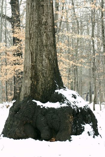 Tree with huge burl on it's base, Paynetown, Monroe Lake, Indiana Snow Tree Winter Cold Temperature Plant Trunk Tree Trunk Nature Day Beauty In Nature Covering No People Land White Color Tranquility Scenics - Nature Outdoors Forest Field Tree Tree Trunk Burl Trees