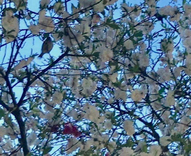 Bird Cherry Blossoms Plant Tree Flowering Plant Branch Flower Beauty In Nature Low Angle View No People Sky Fragility Springtime Blossom