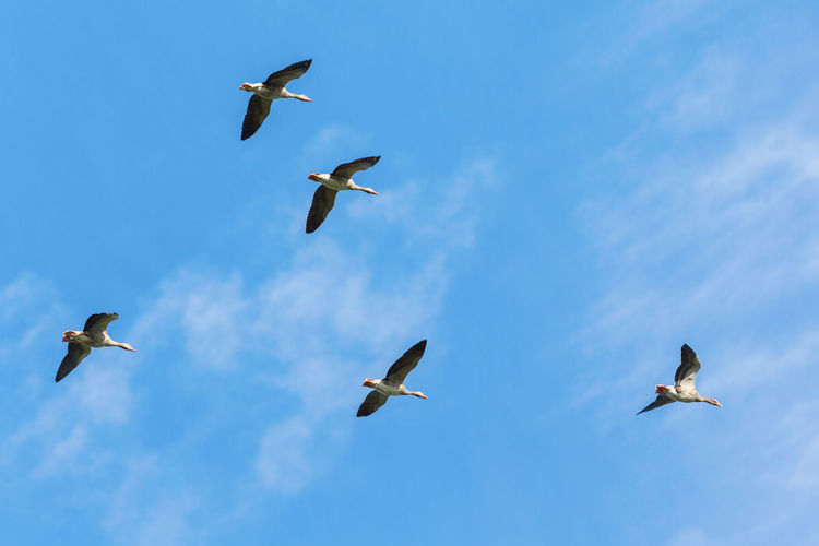 Flock of greylag geese flying in the blue sky