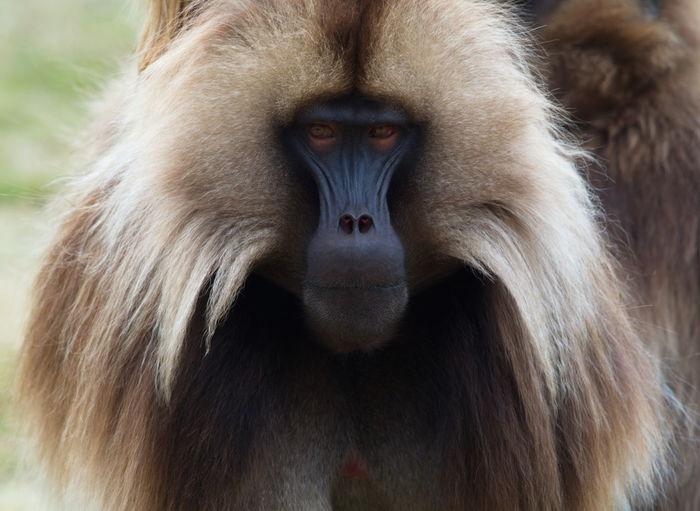 Closeup head on portrait of adult gelada monkey theropithecus gelada looking at camera, ethiopia.