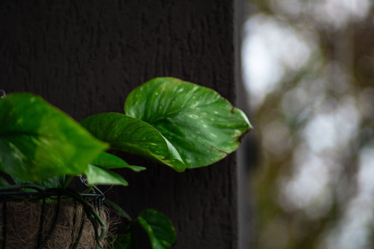 Plant Part Leaf Plant Green Color Close-up Nature Growth No People Focus On Foreground Day Freshness Outdoors Beauty In Nature Wood - Material Selective Focus Leaves Herb Leaf Vein Wall - Building Feature Ivy