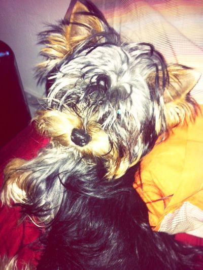 Yorkie Love I Love My Dog Raff Cute Cuddles