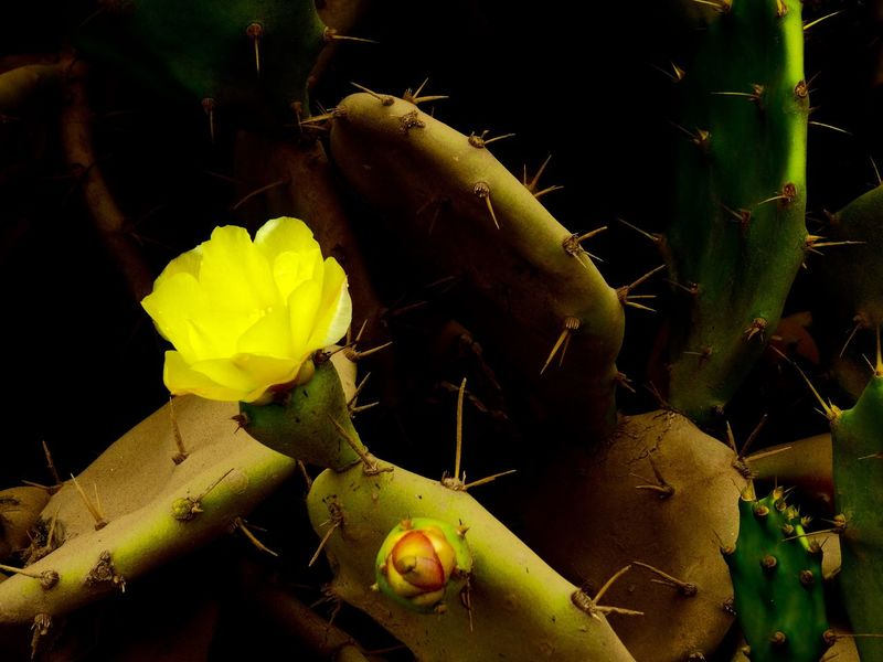 Yellow cactus flower found on Ngor Island Beauty In Nature Cactus Close-up Day Flower Fragility Freshness Green Color Growth Leaf Nature Ngor No People Outdoors Plant Prickly Pear Cactus Senegal Yellow Yellow Flower EyeEm Selects