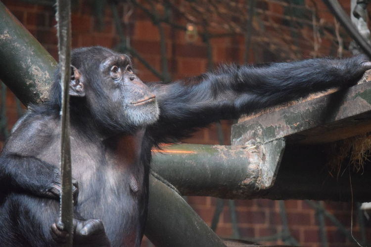 Chimpanzee Chester Zoo Chester Chimp House Rope Swing Tree Brick Wall Just Chillin' Ape Close-up Monkey