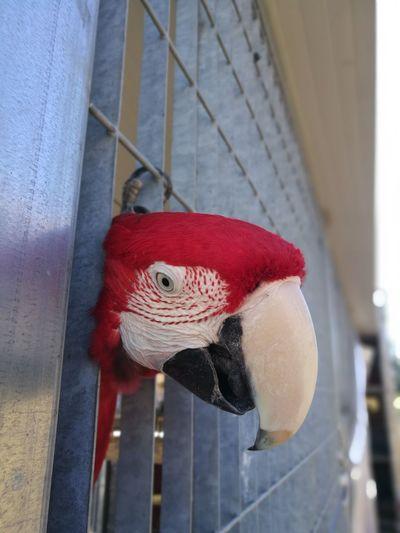 Red Cage Hanging Outdoors Close-up Parrot Bird Hanging Ara Macao