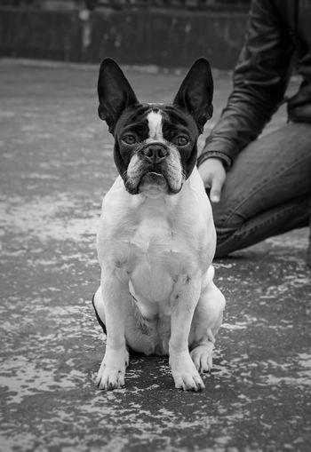Portrait of boston terrier on street