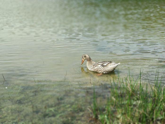 Duck. Azores Sao Miguel- Azores São Brás Bird Water Reptile Swimming Alligator Crocodile Lake Swamp Marsh Animals Hunting