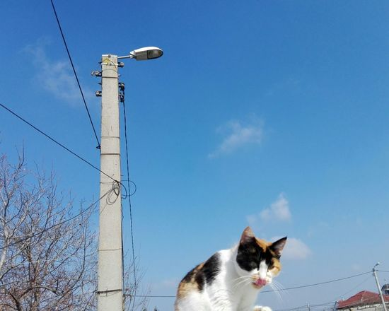 Cat Uppon Blue Sky WOLFZUACHiV Photography Veronica IONITA Photography Cat Cat Uppon Sky Blue Sky Street Lamp EyeEm Selects Pets Domestic Animals One Animal Sky Blue Animal Animal Themes No People Clear Sky Domestic Cat Outdoors Nature Day Mammal