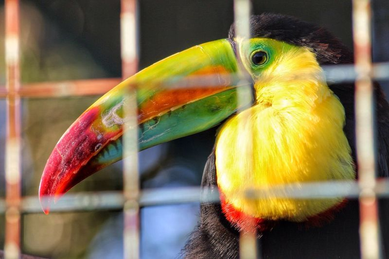 Showcase March Nature Toucan Nature_collection Nature Photography Naturelovers Nature On Your Doorstep Animals Bird Bird Photography Birds Birds_collection Birds Of EyeEm  Birds🐦⛅ Bird Watching Birds_n_branches Zoo Colours Colourful Colors Well Turned Out Wildlife & Nature Naturephotography Zoology