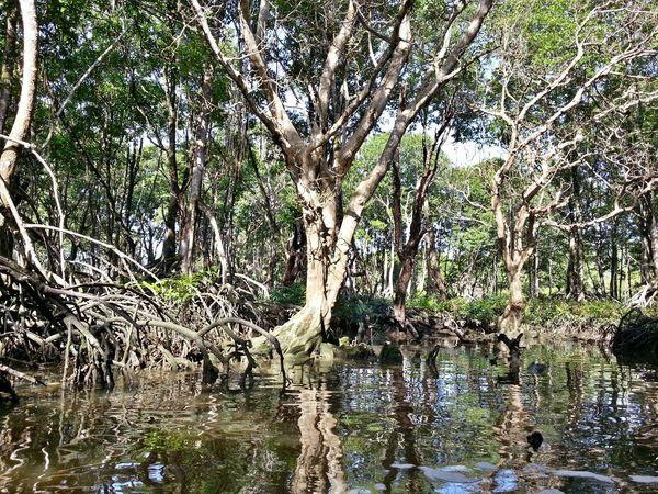 Mangroves Jungle Nature Green