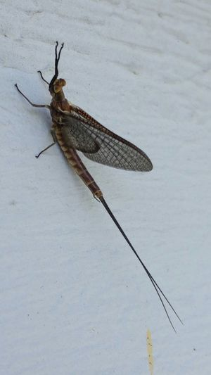 Insect Macro Insects Bugs Mayfly They are back to clean Lake Erie