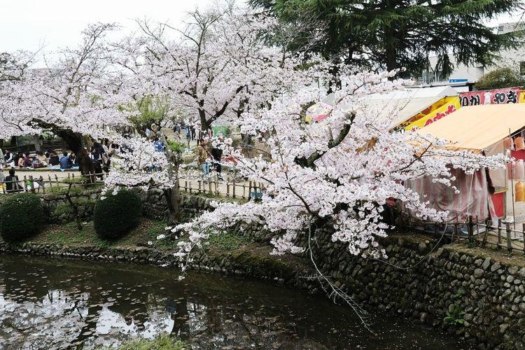 絶賛、満開中。 Outdoors Cherry Tree Pink Color Cherry Blossom Freshness Beauty In Nature Springtime Xf23mmf2 X-PRO2 Japan Hanami Nature Tree