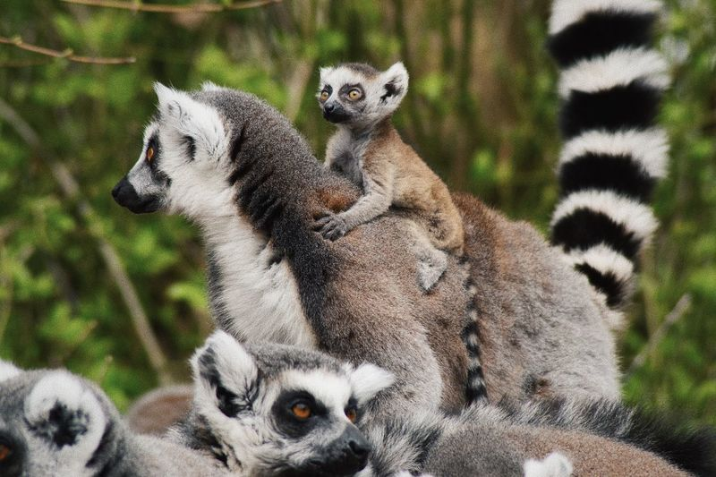 Close-up of lemurs in forest