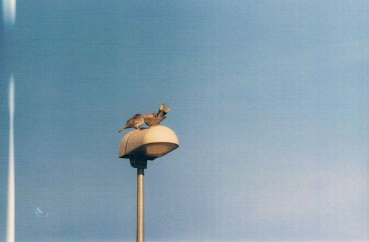 Spring couple🐦🐦 Analog Photography Zenit 11 Birds Blue Sky Old Effects Photography Photooftheday Sightseeing Streetlight Light Effect Taking Photos Writing With Light