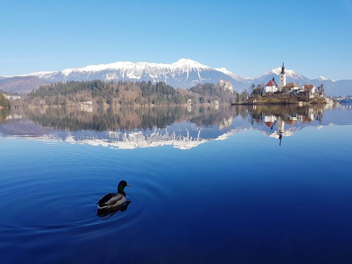 Swans swimming on lake against clear blue sky