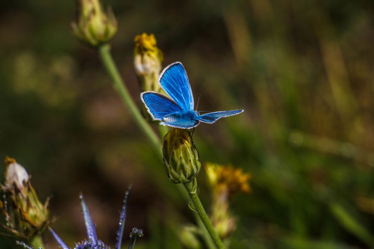 Electric blue in nature Asturias Paraiso Natural🌿🌼🌊🌞 Macro Photography Parque_Natural_Somiedo Beauty In Nature Blue Blue Butterfly Botany Butterfly - Insect Day Flower Flowering Plant Fragility Nature No People One Animal Plant Somiedo Vulnerability