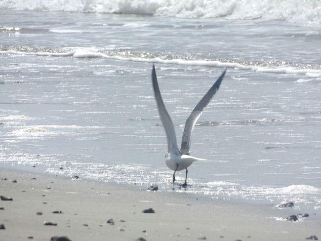 Oak Island NC Birds Ocean Oceanside