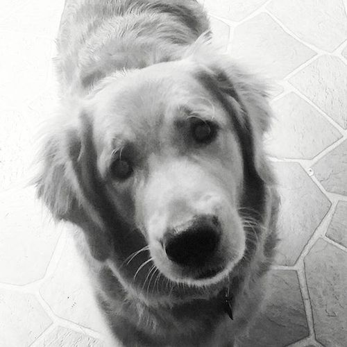 Chase Dog Goldensofinstagram Blackandwhite Blackandwhitephotography Contrast Highlights Cutestpuppyfacetoobadthelightwascrappy