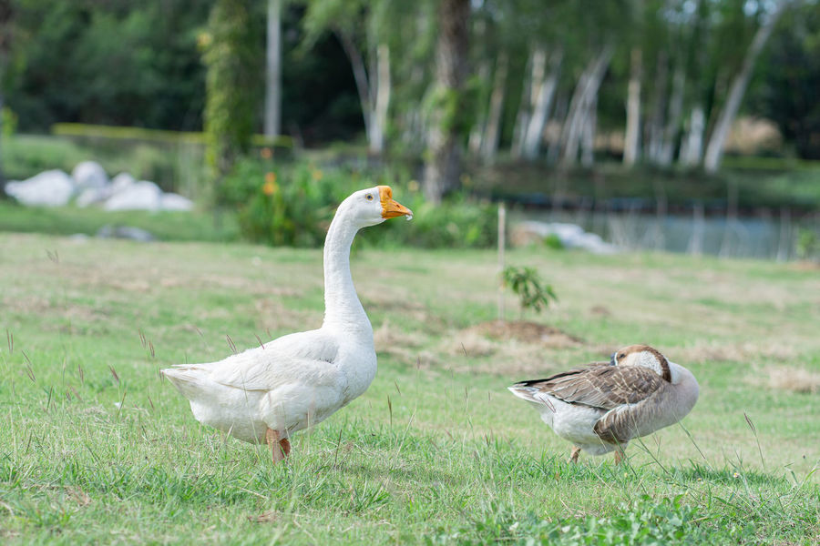 Animal Themes Bird Animal Vertebrate Animals In The Wild Group Of Animals Animal Wildlife Grass Plant Focus On Foreground Field Day Nature Goose No People Land Young Bird Young Animal Two Animals Water Bird Animal Family Outdoors Gosling