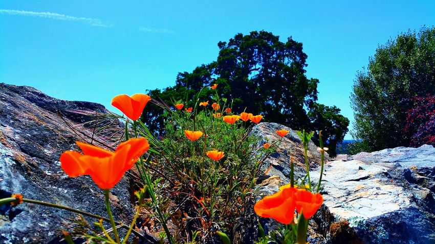 Hello poppies. Poppy Flowers Flowers Spring Flowers California California Poppies Landscape Nature Connected With Nature