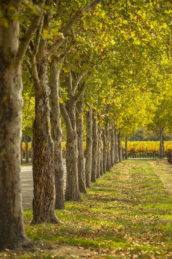 Row of trees Tree Plant Nature In A Row Footpath Treelined No People Landscape Outdoors Land Agriculture Beauty In Nature Tranquility Autumn Environment Scenics - Nature Leaf WoodLand Autumn Vineyards In Autumn