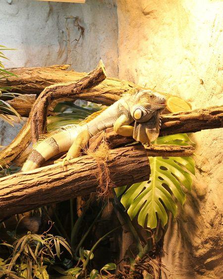 Ist das nicht ein Prachtexemplar? Leguane können etwa 2 Meter groß, 9 kg schwer und 20 Jahre alt werden. Sie sind etwa so schnell wie ein Fahrradfahrer (35 km/h). Iguana Love Iguana Photo Iguana In A Tree Iguana Colors Iguana In A Tree Iguana Island Growth Nature Day No People Outdoors Tree Plant Sunlight Palm Tree Lguanidae Beauty In Nature Close-up Leguan Colored Background