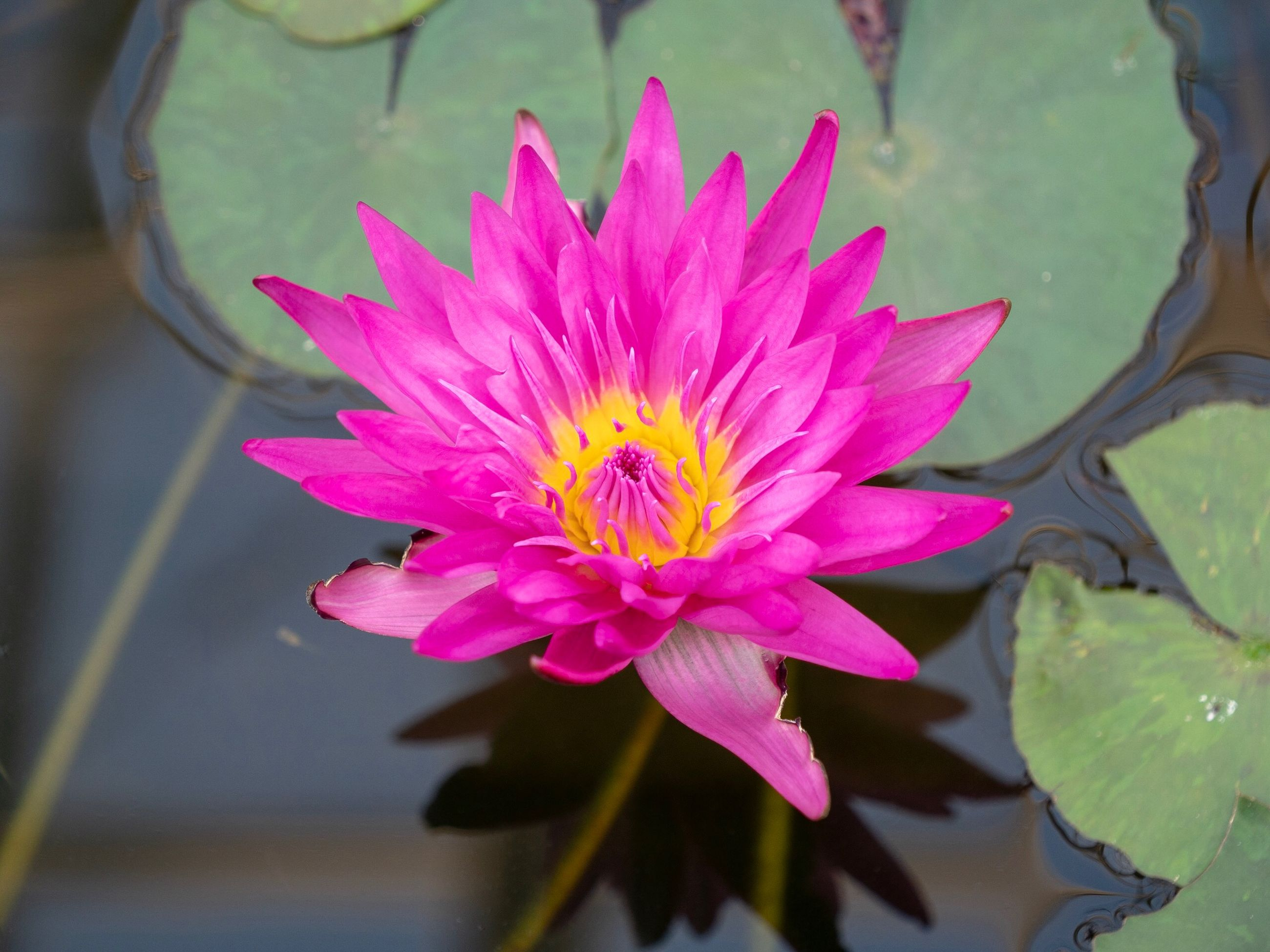 flowering plant, flower, petal, beauty in nature, plant, freshness, fragility, pink color, vulnerability, inflorescence, flower head, water lily, growth, leaf, water, close-up, pond, plant part, no people, floating on water, lotus water lily, pollen
