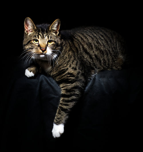 Portrait of tabby cat against black background
