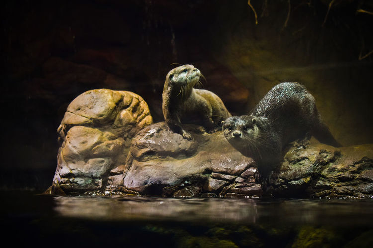 Close-up of otters