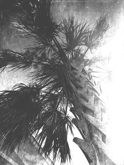 Palm Summer Monochrome Blackandwhite Plant Tree Nature Day Low Angle View No People Sky