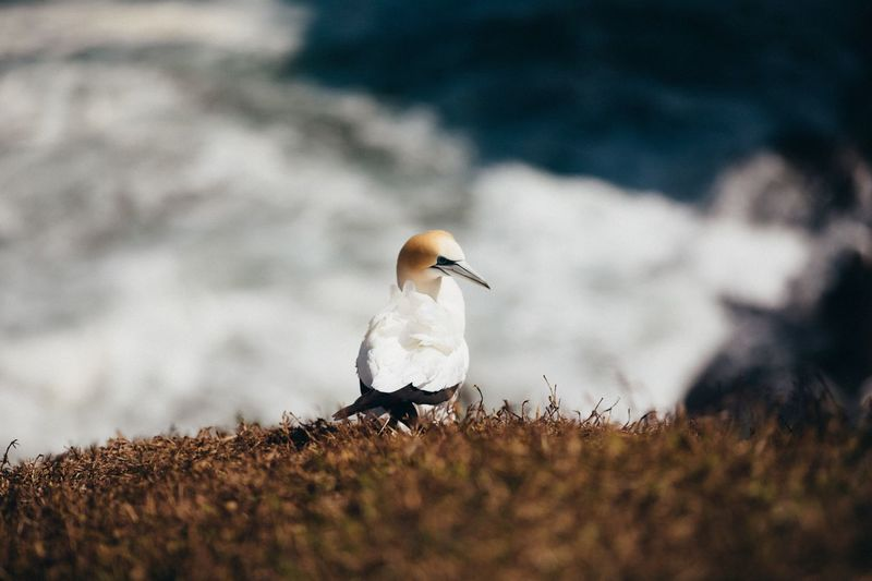 Gannet at Muriwai Animal Themes Bird Animals In The Wild Animal Animal Wildlife Vertebrate Selective Focus One Animal Nature No People Day White Color Perching Land Outdoors Beach Close-up Focus On Foreground Sea Bird Rock Gannet Film Getty Images EyeEmNewHere Full Frame