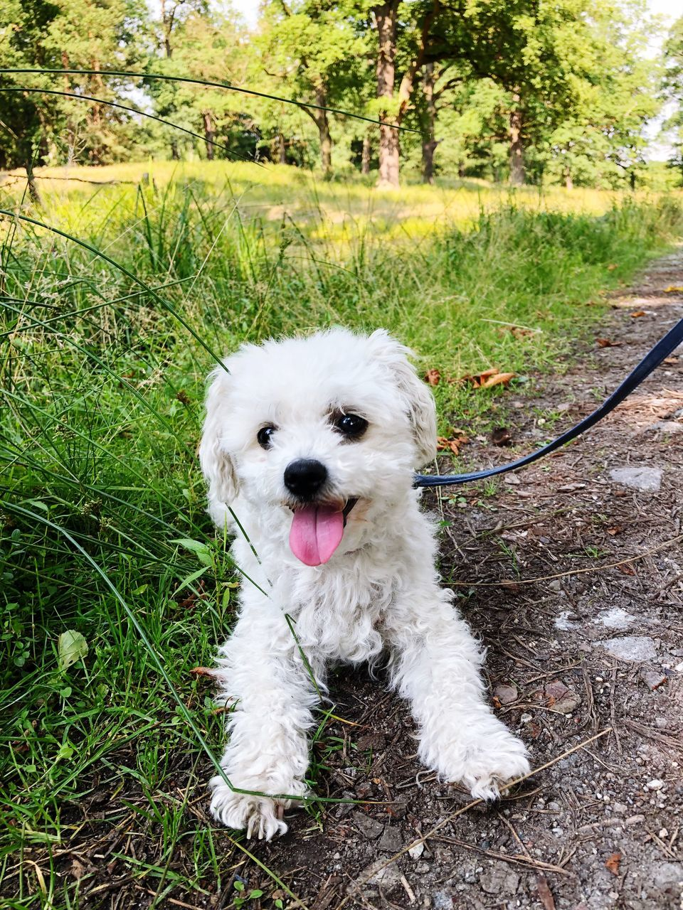 one animal, canine, dog, domestic, pets, animal themes, domestic animals, mammal, animal, plant, vertebrate, grass, day, nature, green color, land, white color, no people, field, leash, panting, outdoors, animal tongue, mouth open
