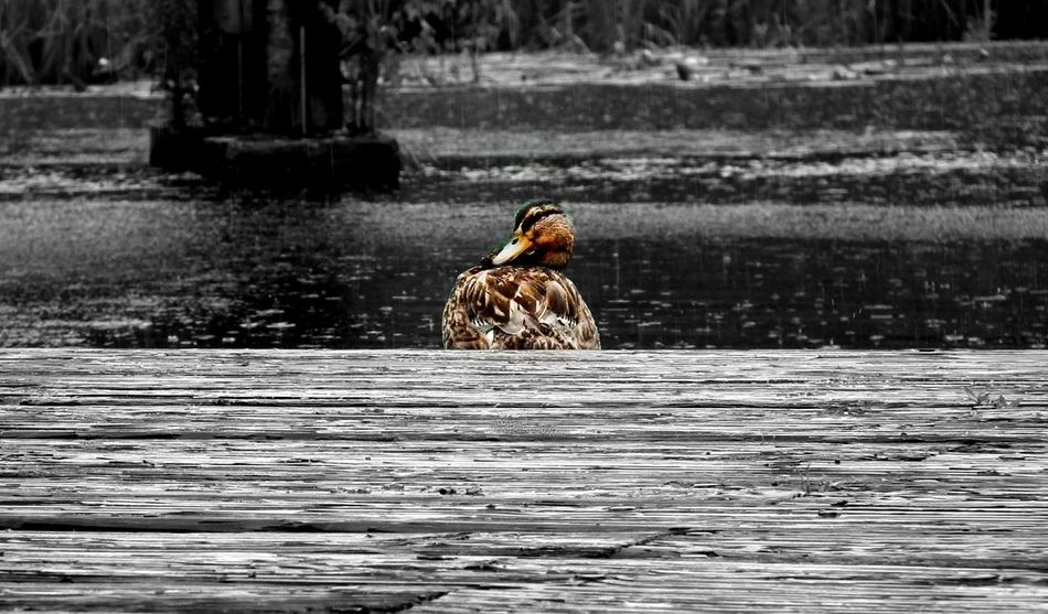 Animal Photography Animal Themes Beuty Of Nature Bird Duck Germany Lake Lübben Nature Rain Riverbank Tranquility Water Selective Color EyeEm Nature Lover Colorkey The Great Outdoors - 2017 EyeEm Awards Pet Portraits