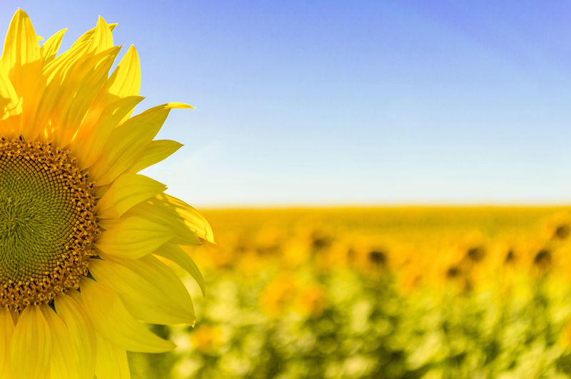 Sunlight Beauty In Nature Close-up Field Flower Flower Head Flowering Plant Focus On Foreground Fragility Freshness Growth Inflorescence Land Landscape Nature No People Outdoors Petal Plant Pollen Sepal Sky Springtime Sunflower Vulnerability  Yellow