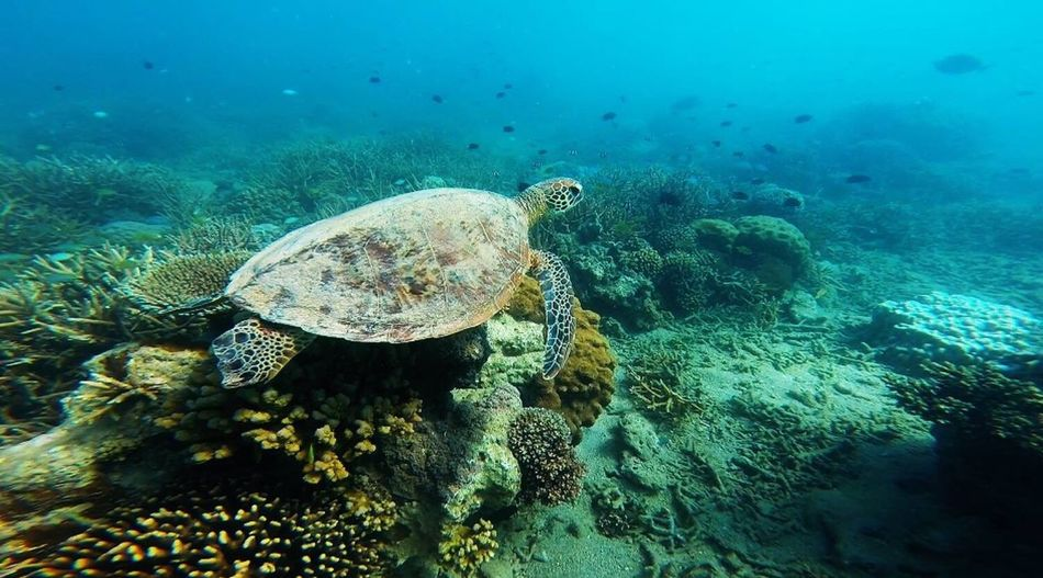 Turtle Water Animal Themes Sea Life Underwater