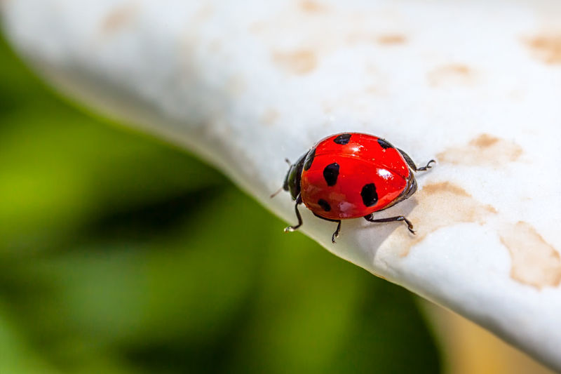 Ladybird Animal Themes Animal Wildlife Animals In The Wild Close-up Day Fragility Insect Ladybird Ladybirds Ladybug Nature No People One Animal Outdoors Red Spotted Tiny