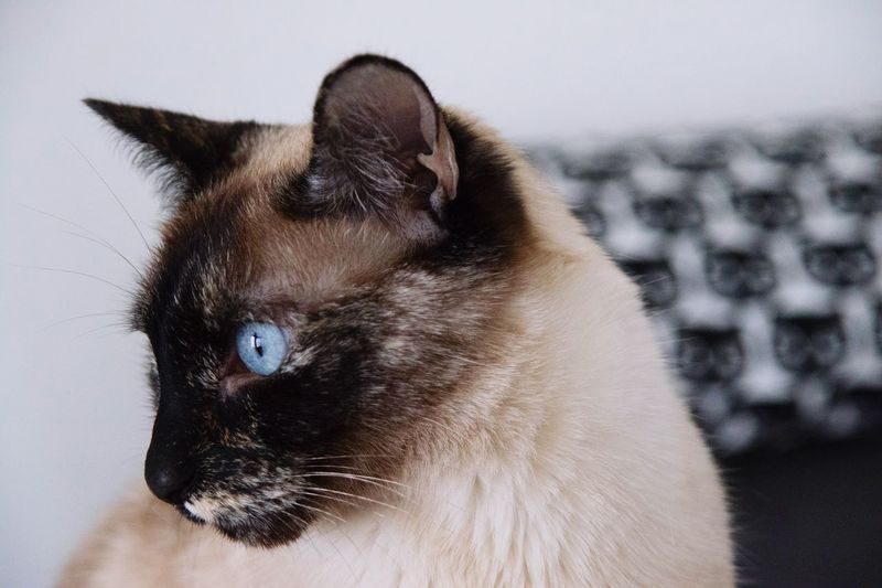 Beauty Cat Domestic Animals Domestic Cat One Animal Pets Animal Themes Mammal Feline Siamese Cat Whisker Focus On Foreground Close-up Cat Photography Cats Of EyeEm EyeEm Animal Lover Cat Portrait Adorable Cute Blue Eyes Tortoiseshell Cat Pet Portraits